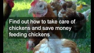 How To Keep Free Range Chickens Happy | Chicken Coops & Free Range Chickens | Chicken Feeders & Eggs
