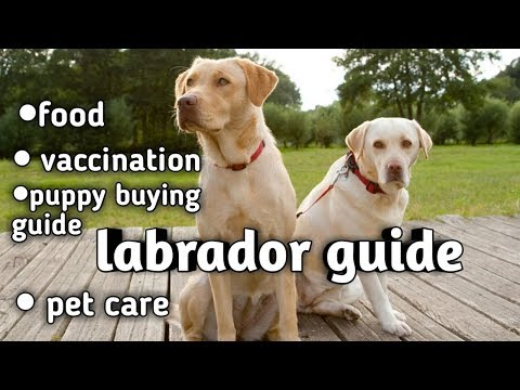 Labrador retriever dog guide in hindi || puppy buying guide || vaccination || food || care