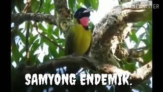 Gambar cover Burung samyong endemik suara liar