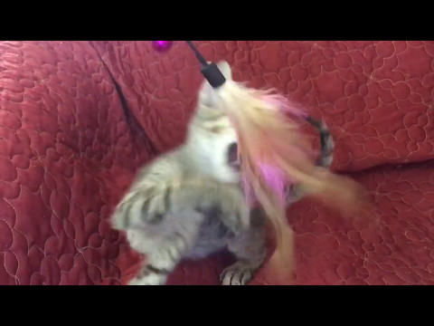 Peterbald Tabby Short Brush Coat Kitten