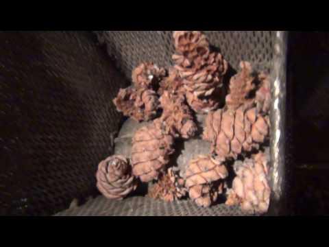 Кедровое масло: польза и вред, полезные свойства и