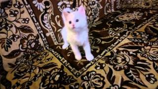 Белый кот, Турецкая ангора