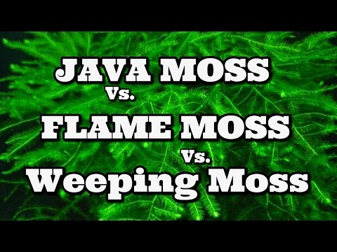 Java Moss Vs Flame Moss Vs Weeping Moss - YouTube