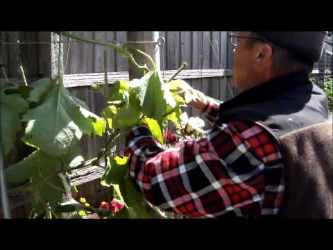 "Traning Grape Vines.""When Can I Prune?""Pt11"
