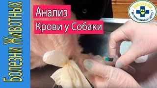 Взятие Анализа Крови у Собаки