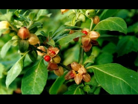 Most Popular Herbs For Natural Medicine Ashwagandha