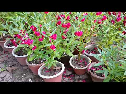 How to grow Balsam/gulmehdi  an rainy season annual Flower / बालसम पर विस्तृत जानकारी
