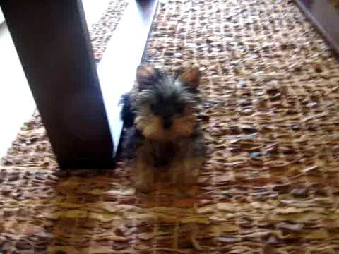 Cute 3 Month Old Yorkie Puppy Youtube