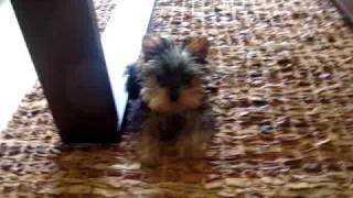 Cute 3 Month Old Yorkie Puppy