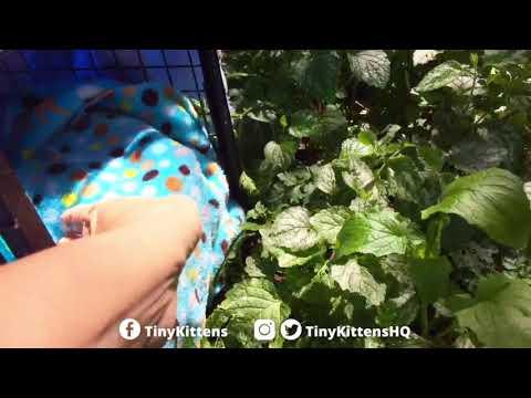 Fierce feral mama cat Suri gets to go home!  TinyKittens.com