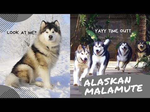 Tiktok| Irresistible ALASKAN MALAMUTE Dog Breed Compilations