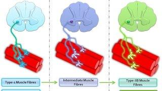 как определить соотношение мышечных волокон? Андрей Антонов