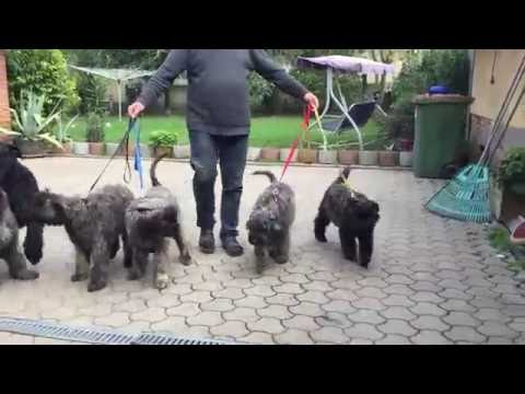 Aase & Aida & Axel & Aragorn - Bouvier des Flanders Puppies for sale
