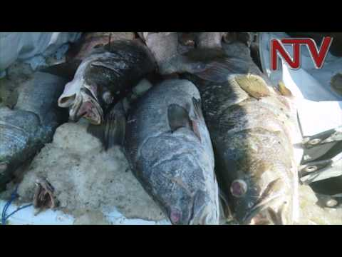 Nile Perch Traders Protest Plans To Have Selected Nile Perch Distributors