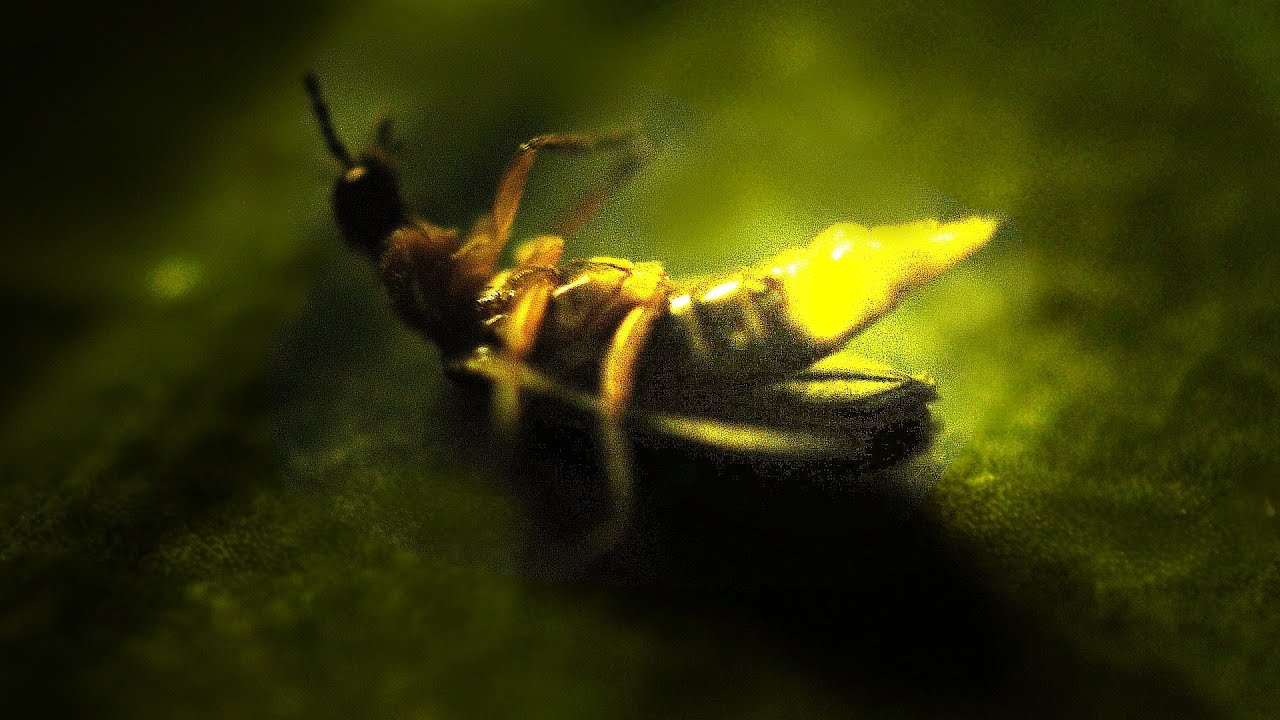 Firefly in Muar - YouTube for Firefly Insect Wallpaper  17lplyp