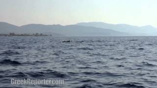 Dolphins in Greece, Evia Island