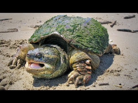 The Snapping Turtle: Ontario Wildlife Video Series