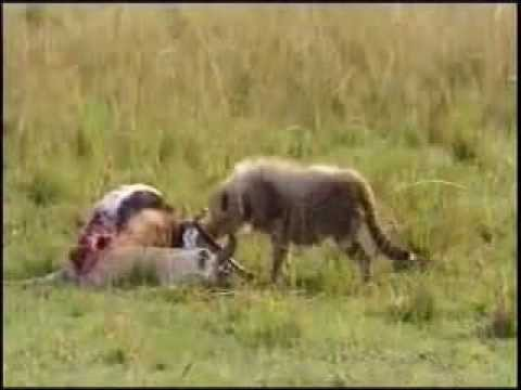 Animal Attack Leopard Attack Giraffes Top ten10@attack - YouTube