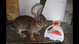viermi în tratamentul iepurilor)