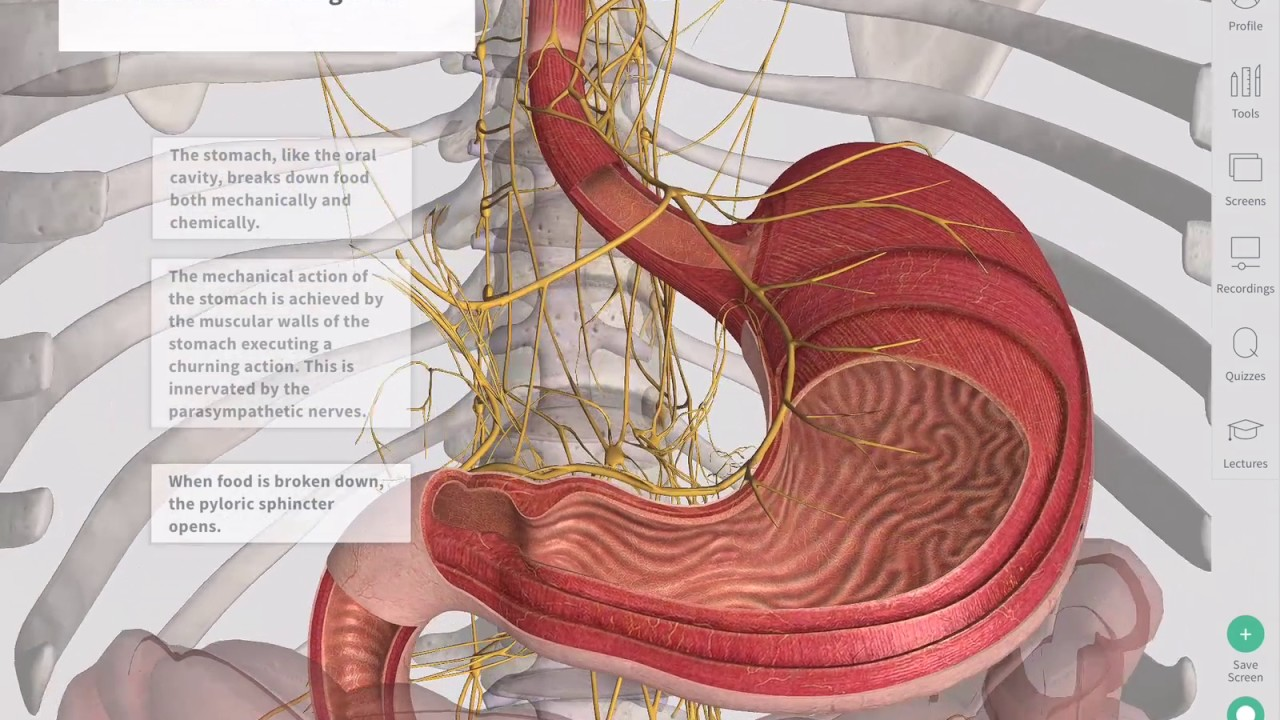 The Gastrointestinal Tract Complete Anatomy Youtube