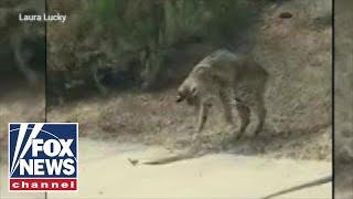 WILD video: Fierce battle between a bobcat and rattlesnake