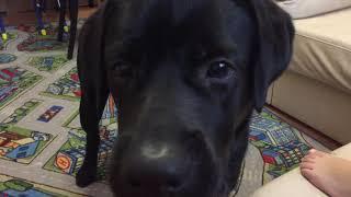 Игра с любимым мячиком, любимый чёрный лабрадор 🐶 Labrador black Tyson
