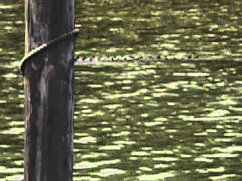 Lake Norman Alligator