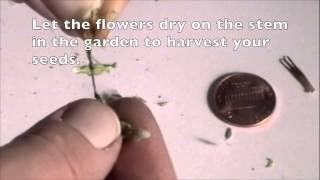 Garden Tips - How to Harvest Romaine Lettuce Seeds