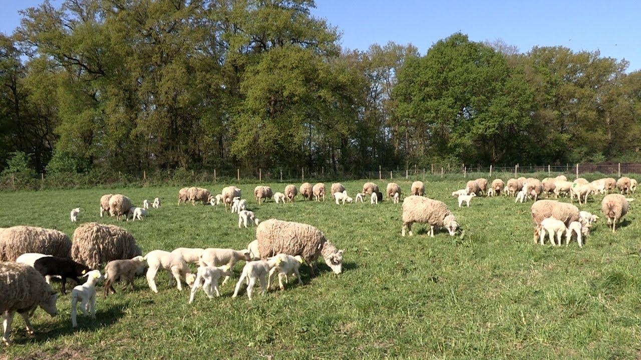 L'élevage bio des moutons à la Bergerie nationale - YouTube