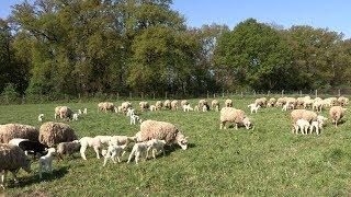 L'élevage bio des moutons à la Bergerie nationale