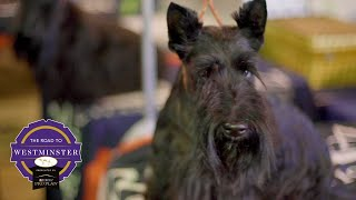 Best of Breed Minute: Scottish Terrier