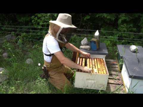 How I never wear gloves beekeeping - handling queens, colony checks