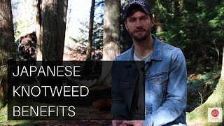 Japanese Knotweed Benefits: Resveratrol, Blood Sugar Balance, Beauty Tonic