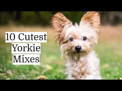 Yorkie Mixes | Top 10 Cutest