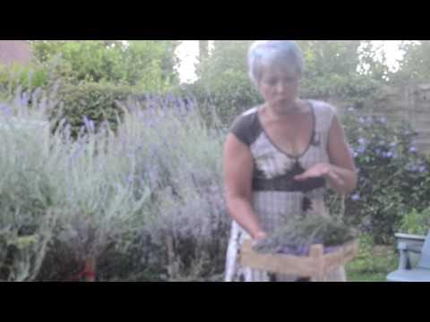macerat huileux de Lavande, Lavandula Angustifolia