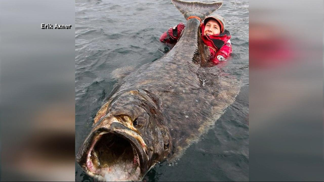 Angler Reels In A 7-Foot Halibut - YouTube