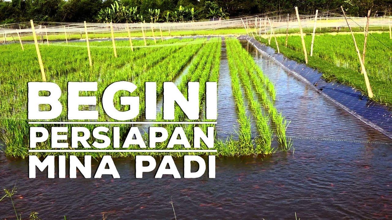 Persiapan Budidaya Mina Padi Dengan Ikan Nila Wajib Tahu Mina Padi Part 2 Youtube
