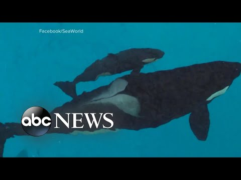 Last killer whale born into captivity at SeaWorld has died