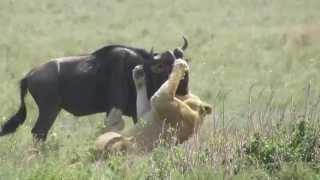 Lioness Kills Wildebeest