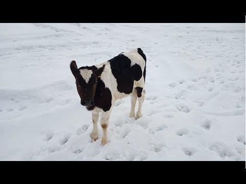 Вопрос: Можно узнать кого принесет корова бычка или телочку?