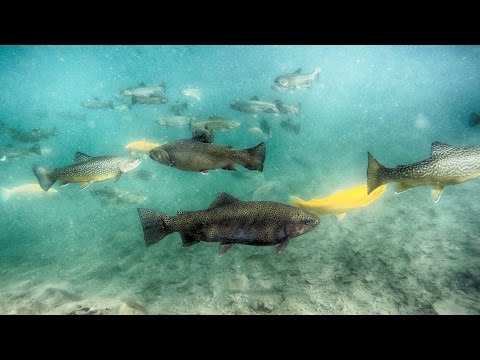 Trout Underwater Relaxing Nature Background Video