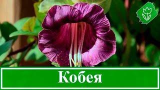 видео Доротеантус: фото цветов, посадка, уход, выращивание из семян