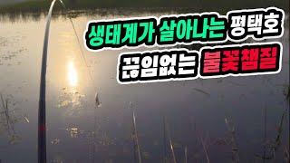 생태계가 살아나는 평택호 끊임없는 불꽃챔질/월척 붕어낚…