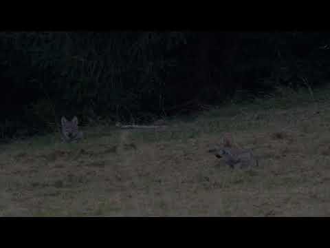 Vlci při odpočinku - video Čergov