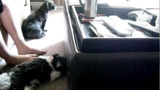 Shih Tzu And Miniature Dachshund Puppy Play!