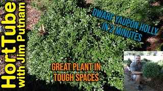 Dwarf Yaupon Holly in 2 Minutes - Best Plant For Tough Conditions