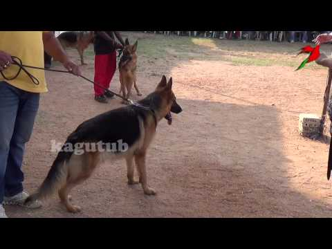 best-german-shepherd-dog-show-videos