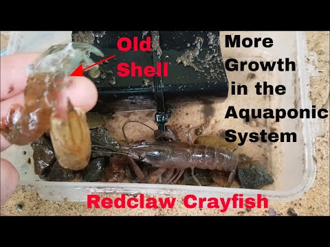 Crayfish in Aquaponics: Growing Redclaw Crayfish in Aquaponic Systems