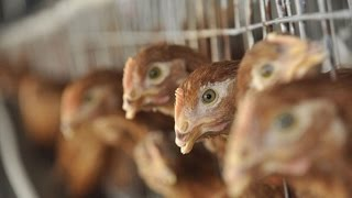 Bird Flu: How to Contain the Latest Outbreak
