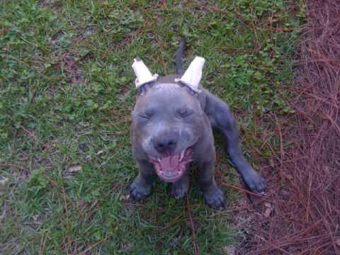 pitbull ear cropped - YouTube